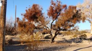 Mistletoe Invasion